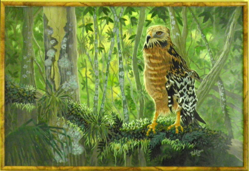 621 - Red Shouldered Hawk 1 of 100