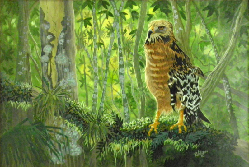 622 - Red Shouldered Hawk