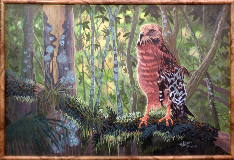 """704 – """"Red Shouldered Hawk"""" Framed"""